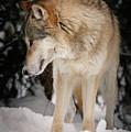 Lone Wolf IIi by Athena Mckinzie