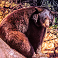 Lonely Black Bear On A Rock by Paul Sommers