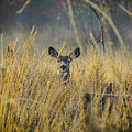 Lonely Deer In The Field by Daniel Brunner