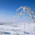 Lonely Frost  by Gabriela Insuratelu