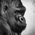 Lonely Gorilla by Philip Rodgers