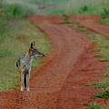 Lonely Jackal by Suzanne Morshead