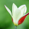 Lonely Lady Tulip by Jess Kruk