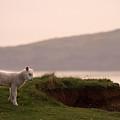 Lonely Little Lamb by Angel Ciesniarska