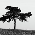 Lonely Pine by Alan Look