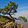 Lonely Pine by Jacek Joniec