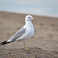 Lonely Seagull by Nicole Frederick