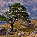 Lonesome Pine by Derek Beattie