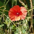 Lonesome Red Poppy Flower by Vineta Marinovic