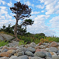 Long Beach Tree Gloucester Ma by Toby McGuire