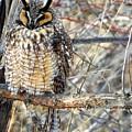 Long Eared Owl Resting by Nicole Belvill