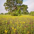 Long Exposure Photograph Of Majestic Post Oak And Texas Groundsel - Brenham Washington County by Silvio Ligutti