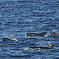 Long-finned Pilot Whales by Bruce J Robinson