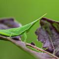 Long Grasshopper by Jordan Pigi