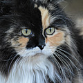 Long Haired Calico Cat 061120155908 by WildBird Photographs