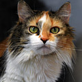 Long Haired Calico Cat by Catherine Sherman