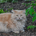 Long Haired Orange Tabby Cat In The Garden 061120156419 by WildBird Photographs