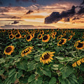 Long Island Sunflower Sunset by Alissa Beth Photography