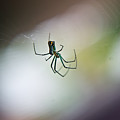 Long Legged Green Spider 2 by Douglas Barnett