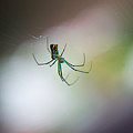 Long Legged Green Spider by Douglas Barnett