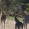 Long Necks by Christiane Schulze Art And Photography