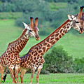 Long Necks Together by Bruce Iorio