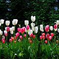 Long Stem Tulips by Nancy Bradley