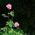Long Stemmed Rose by Jean Noren