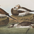 Long Tailed Duck by John James Audubon