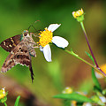 Long-tailed Skipper Butterfly by Rich Leighton