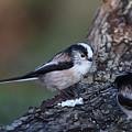 Long-tailed Tit by Bob Kemp