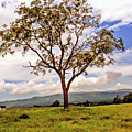 Long Tree Shenandoah Valley West Virginia  by Geraldine Scull