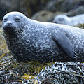 Long Whiskers On A Harbor Seal by DejaVu Designs