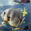 Longfin Batfish by Betsy Knapp