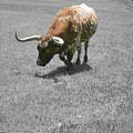 Longhorn by Douglas Barnard