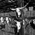 Longhorn Skulls by Kathleen Stephens