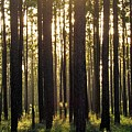 Longleaf Pine Forest by Joshua Bales