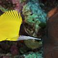 Longnose Butterflyfish by Steve Rosenberg - Printscapes