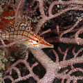 Longnose Hawkfish Hiding In Coral by James Forte