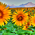 Longs Sunflowers by Scott Mahon