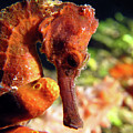 Longsnout Seahorse, St. Croix, U.s. Virgin Islands 1 by Pauline Walsh Jacobson