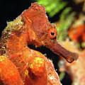 Longsnout Seahorse, St. Croix, U.s. Virgin Islands 3 by Pauline Walsh Jacobson