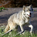 Lonly Wolf by Marty Koch