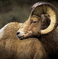 Looking Back - Bighorn Sheep by TL Mair