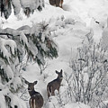 Looking Back White Tail Deer Id by Cindy Murphy - NightVisions