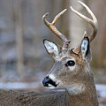 Looking Back Whitetail Deer by Steve Gass