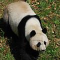 Looking Down At A Cute Giant Panda Bear by DejaVu Designs