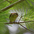 Looking Down - Common Sparrow - Passer Domesticus by Spencer Bush