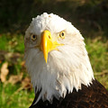 Looking Eagle by David Lee Thompson