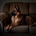 Looking Out The Window - German Shepherd Dog by Angie Tirado